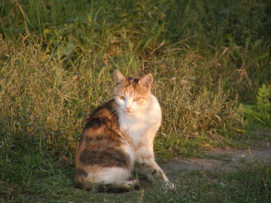 Трёхцветная кошка-хранительница дома.