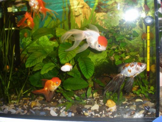 мой аква с золотыми рыбками