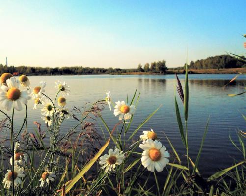Ромашки у озера.