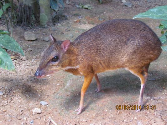 мышинный олень