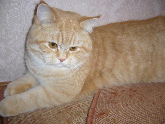 Кот британец Масик