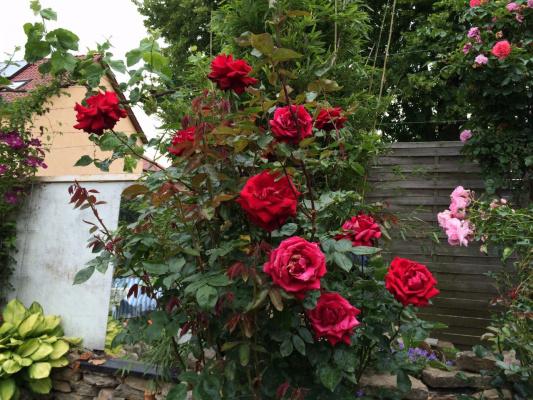 суперкрупные красные розы
