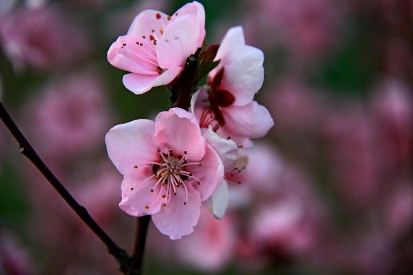 Завораживающее цветение Персика