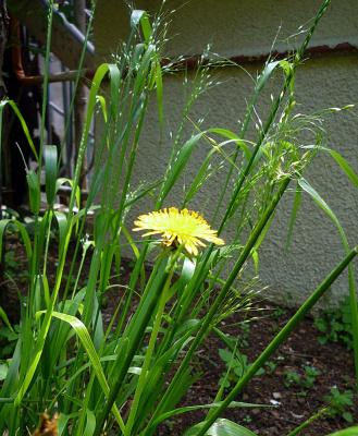 Травинки-былинки и одуванчик