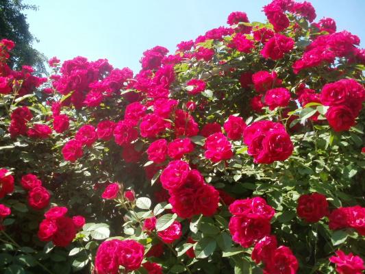 Мои розы..