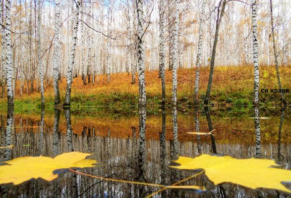 Одинокие листья клёна на воде