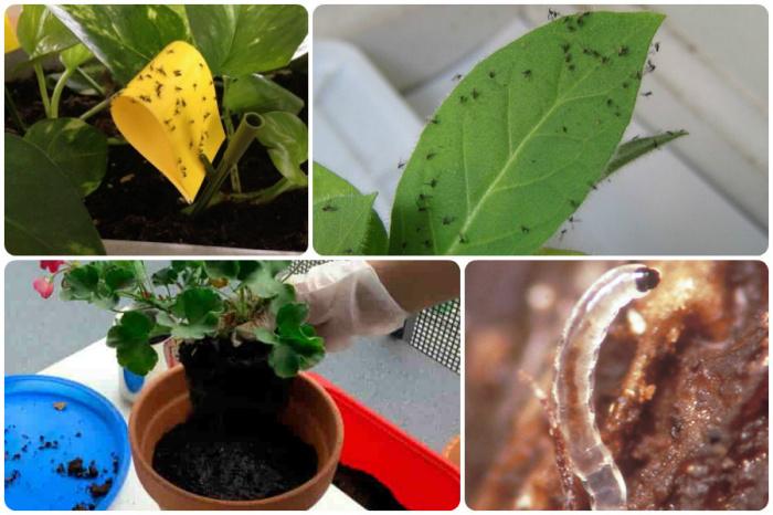Тля на комнатных растениях в домашних условиях 1000
