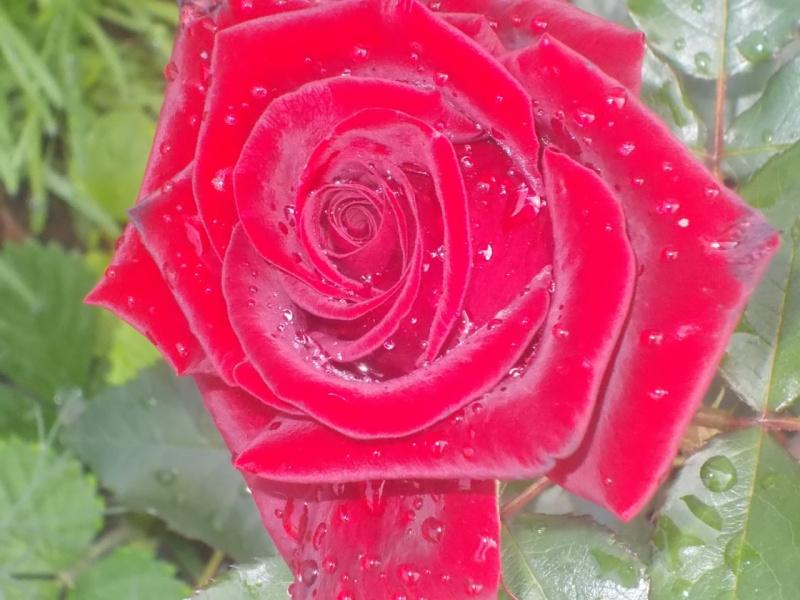 роза .в росе .