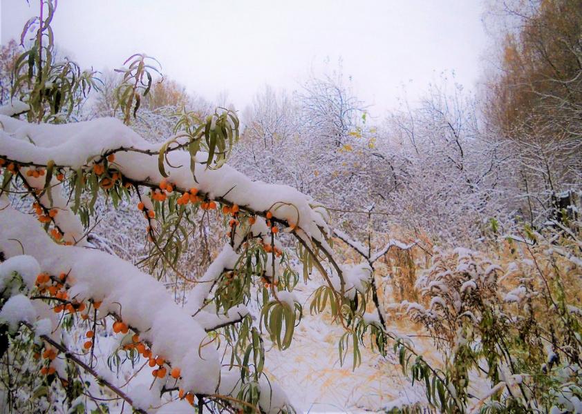 Первый снег на облепихе
