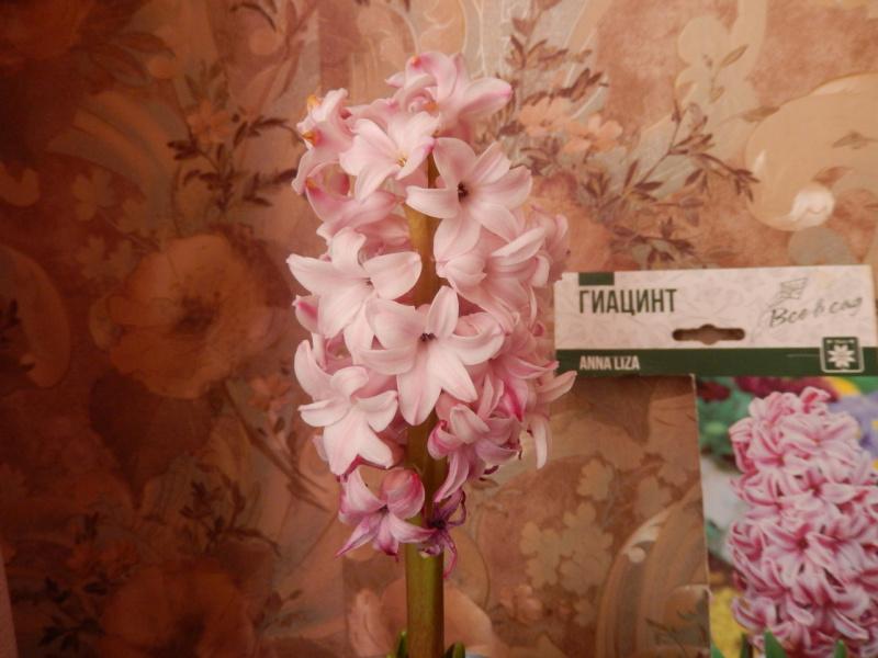 Гиацинт, Орхидея!