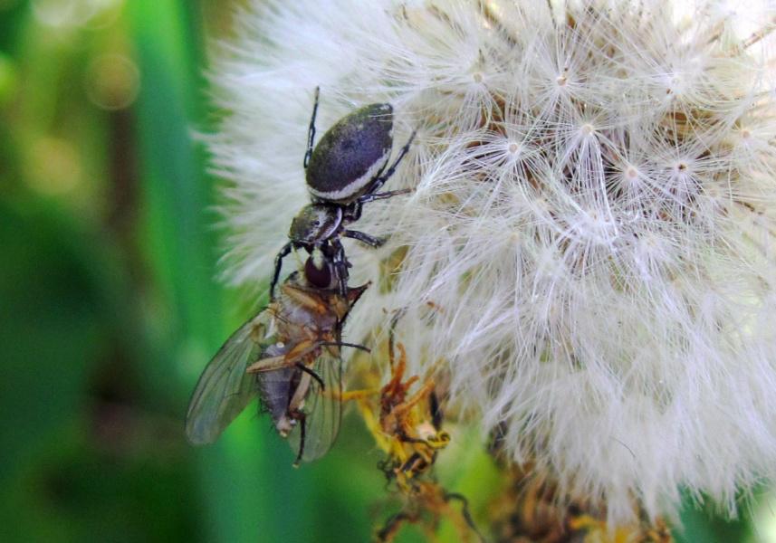 Нашу муху в уголок поволок...!