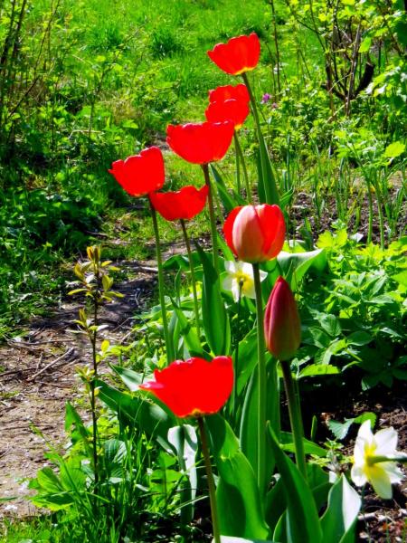 Алые тюльпаны в моём огороде