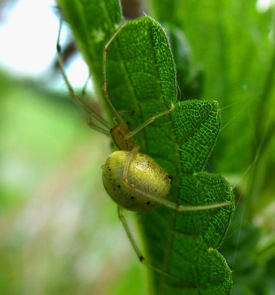Зеленый ПАУК