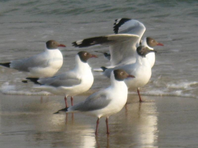 Чайки в индии