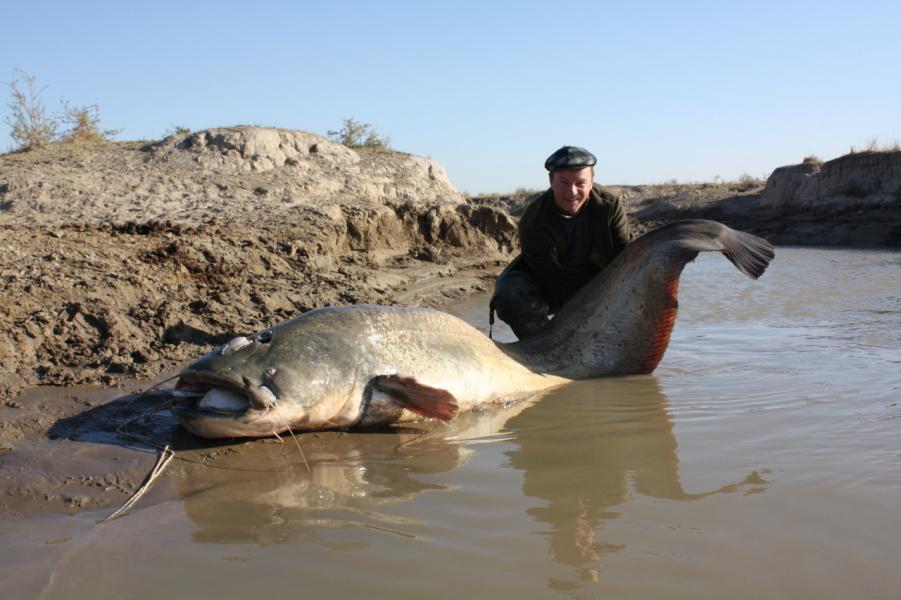 Большая рыба сом видео