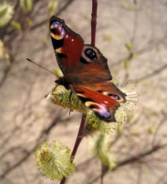 Бабочки летают... бабочки