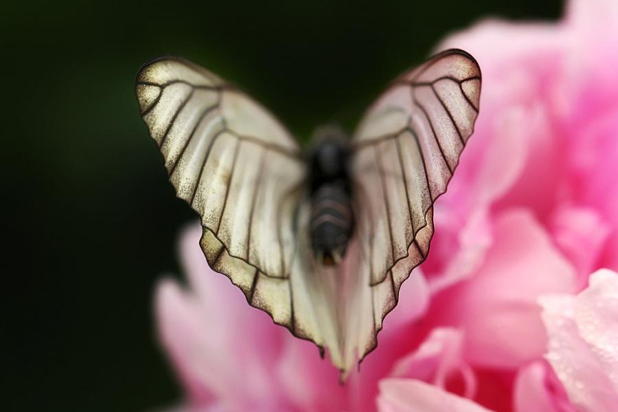 волнистые крылышки