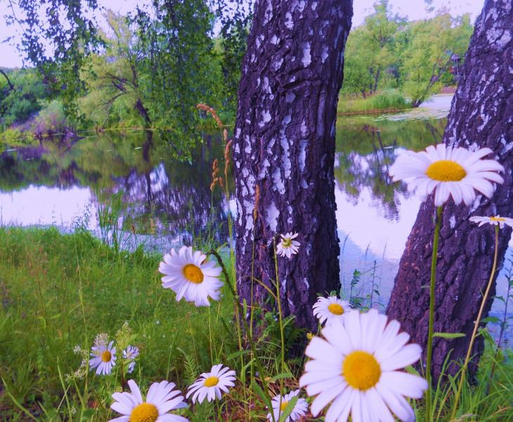 Ромашки у реки