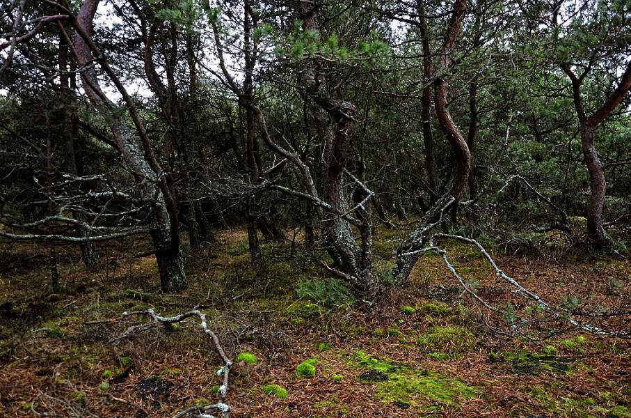 Еще раз про лес на Куршской косе.