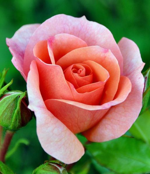 Моя роза