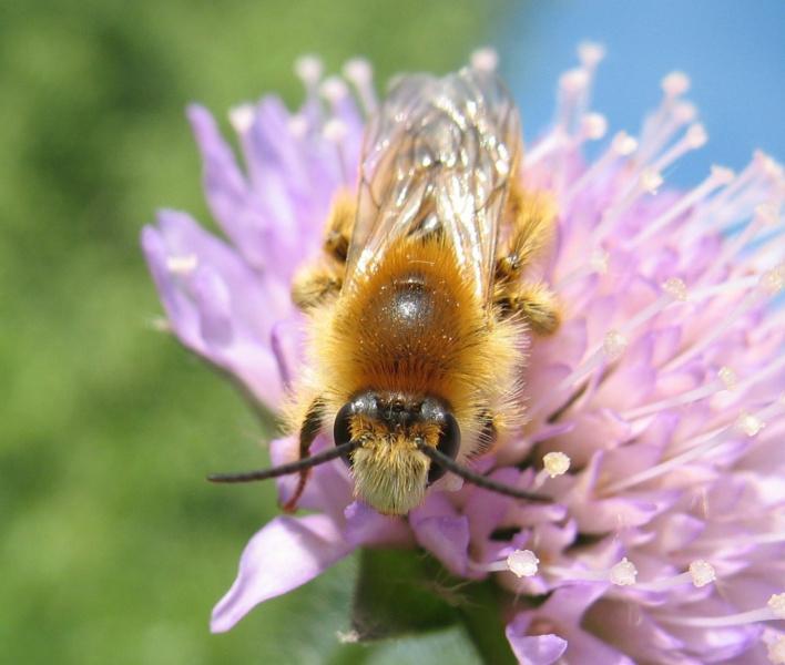 Бородатый пчёл