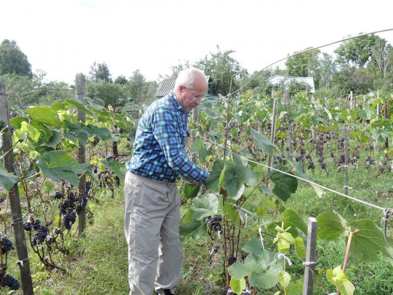 Пора собирать виноград