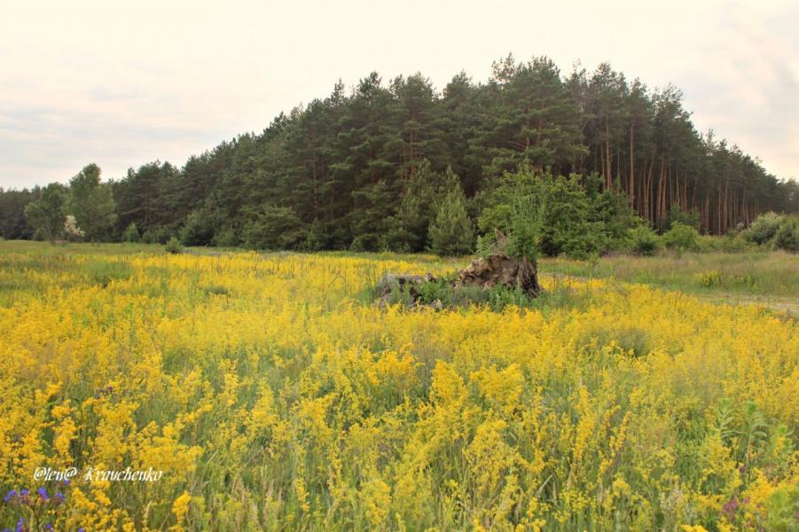Жолтая поляна