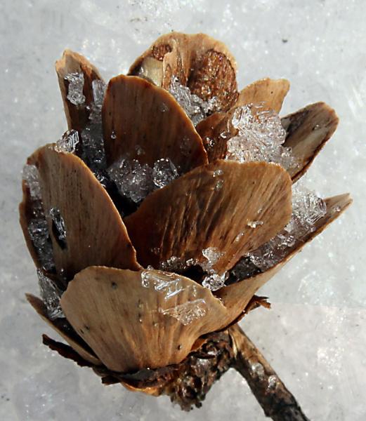 шишечка лиственницы