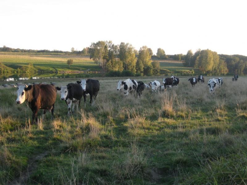 Сельское стадо