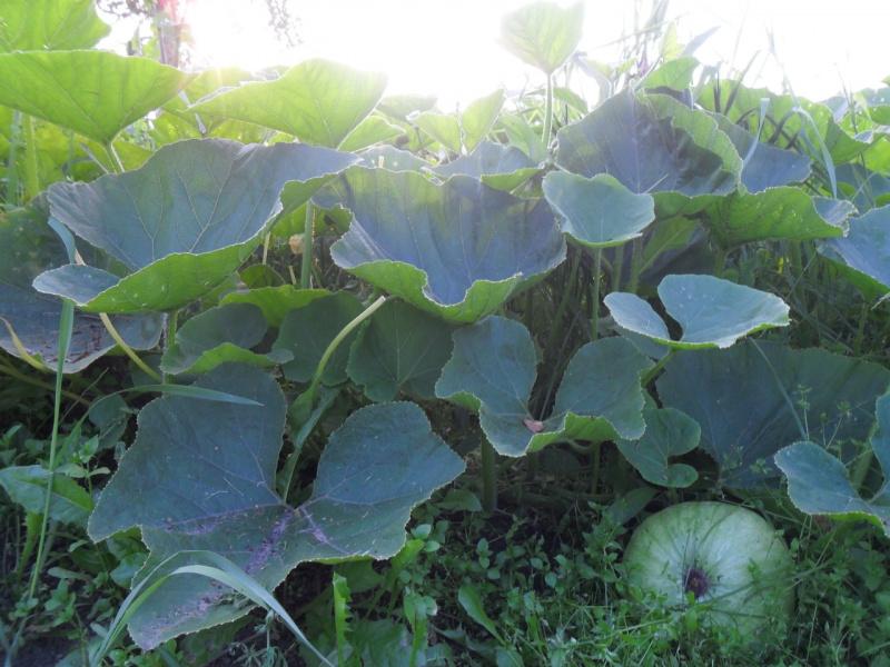выращиваем тыквы