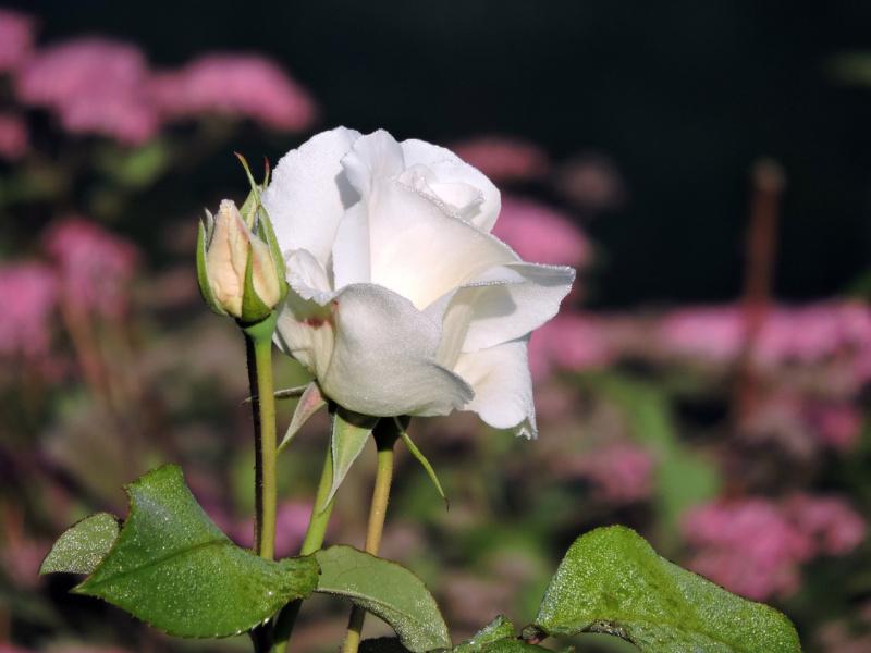 Просто роза...