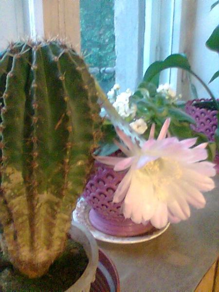 Расцвевший кактус