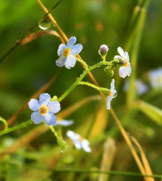 незабудки для Даны и ее мамы, которая эти цветочки очень любит =)))