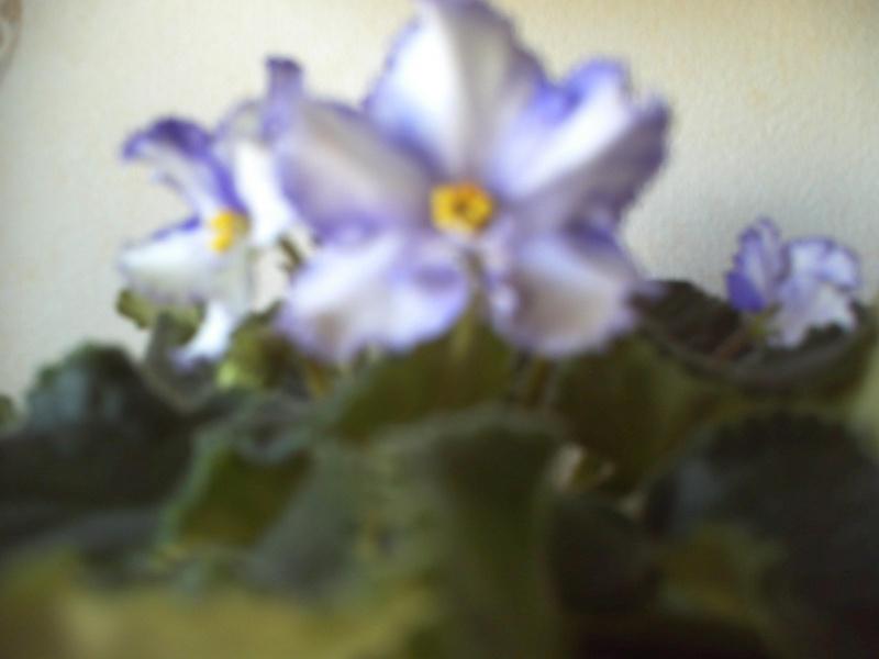 Мои фиалки и другие цветы