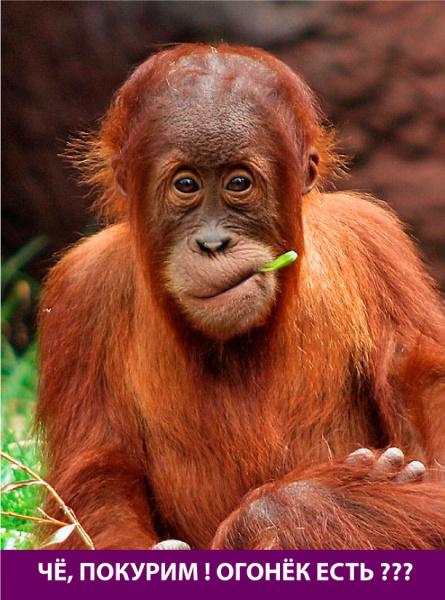 Прикольная обезьяна с типа сигаретой
