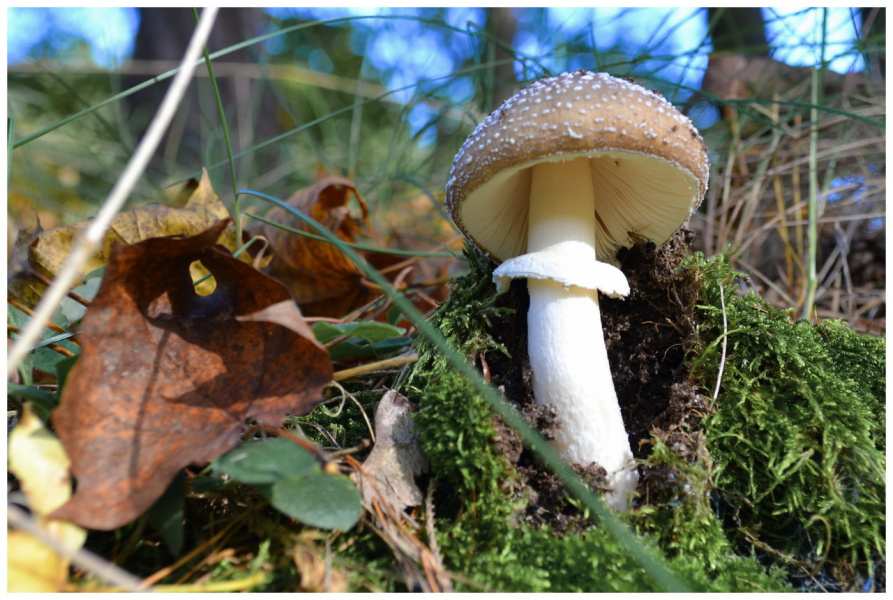 Среди травки бугорок, а под ним растет грибок.
