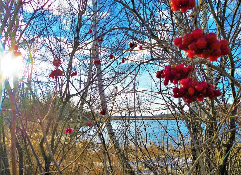 Калина красная у озера