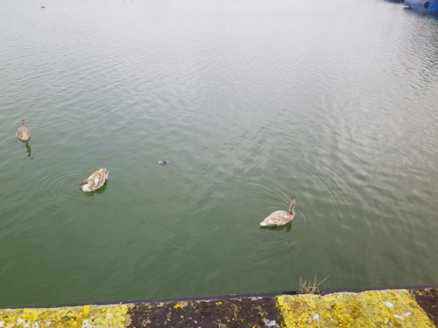 Лебеди гостят в рыбном порту г.Пионерский,Калининградская обл.