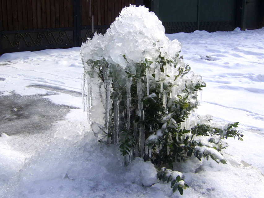 Игра природы. Самшит зимой. Оцените!