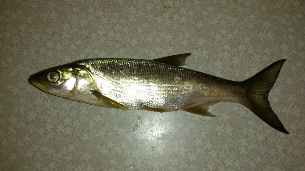 что за рыба.