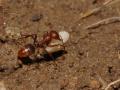 Муравьи-амазонки или муравьи-рабовладельцы