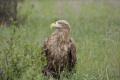 Орлиный взгляд (орлан белохвост)
