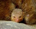 """""""Добрый день"""" - сказал проснувшийся мангустик, вылезая из-под своих собратьев..."""