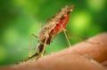 Малярийные комары или анофелесы