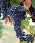 Полифенолы из виноградных семян. Ресвератрол.