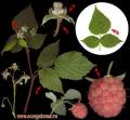 Малина обыкновенная - Rubus idaeus