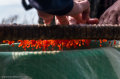 Как делают икру-пятиминутку и чем она отличается от обычной красной икры