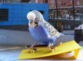 Попугаи-скейтбордисты