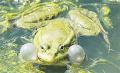 1743. Пение соловьев и кваканье лягушек неразрывно связаны – «по странному закону жизни».