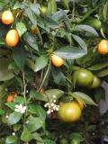 Различные способы размножения цитрусовых...